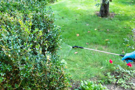 spraying boxwood bushes with pesticide using pneumatic garden sprayer in yard of village house