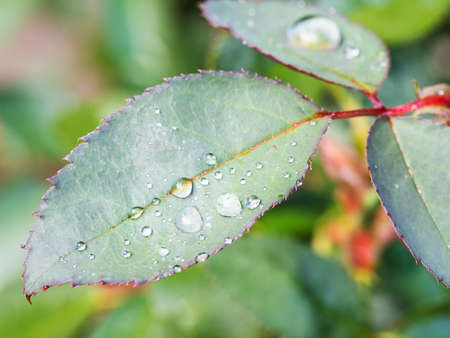 water drops on green leaf of rose flower closeup after summer rain
