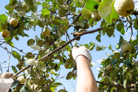 peasant saws a quince tree branch with a hand saw in home garden on sunny day