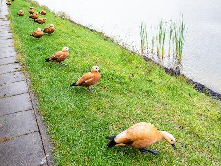 flock of ruddy shelduck on bank of city pond in rainy autumn day