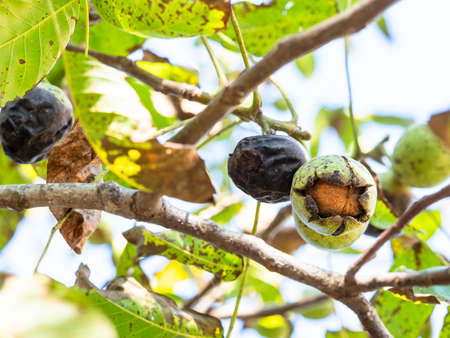 ripe Walnut inside green husk closeup on tree in autumn