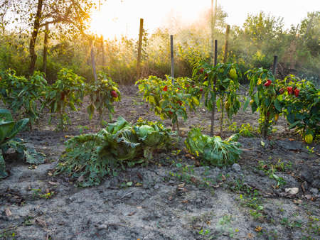 bushes of bell peppers tied to wooden stakes lit by sunset sun in home garden in autumn twilight Stok Fotoğraf
