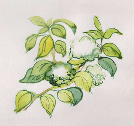 branch of white hydrangea, watercolor painting in Japanase style