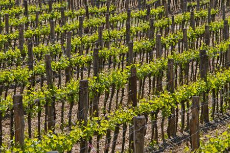 val dorcia: Vineyard in Val dOrcia in Tuscany, Italy Stock Photo
