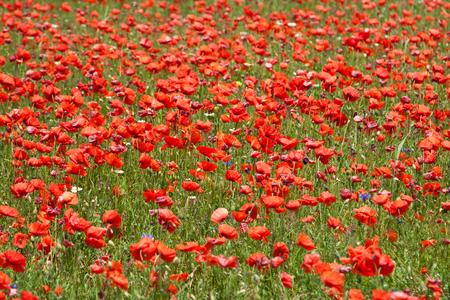 norcia: Poppy Field in Castelluccio of Norcia in Italy