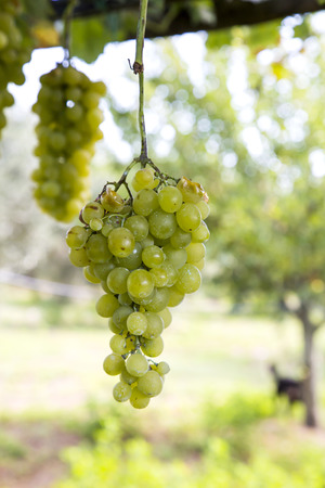 biological vineyard: Grapes in Italy