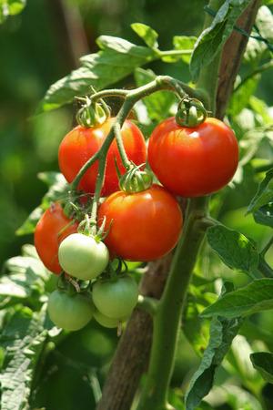 tomate: L'agriculture biologique en Italie. La culture des tomates. Banque d'images