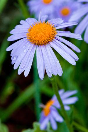 blue daisy: Blue daisy