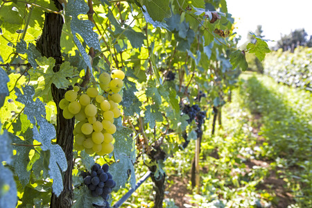 biological vineyard: Cultivation of grapes in Italy Stock Photo