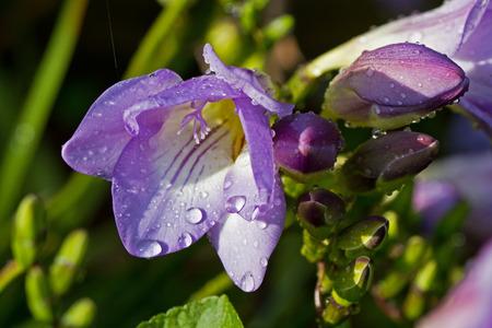 freesia: Freesia flower