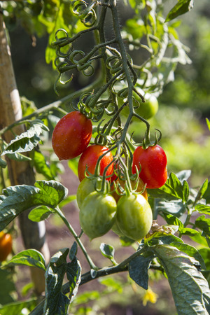 Organic farming, cultivation of tomatoes in Italy Stock Photo