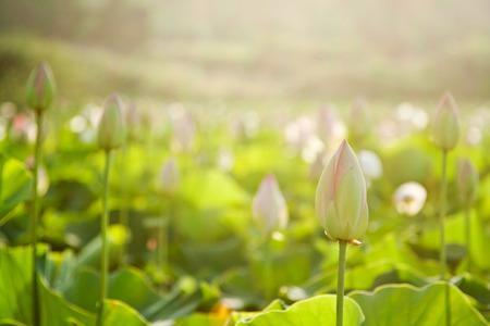 lotus flowers: Lotus flowers Stock Photo