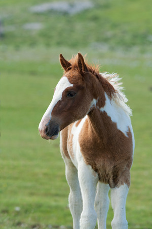 trot: Portrait of horse in the mountain Stock Photo