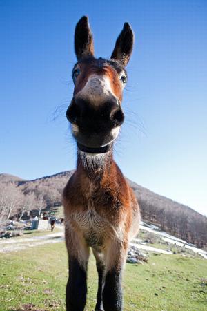 burro: Retrato de burro en la monta�a Foto de archivo