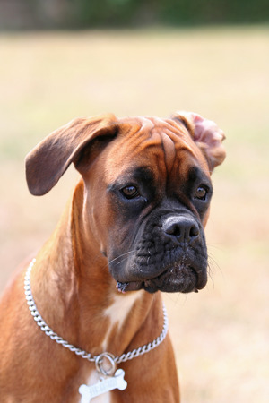 boxer dog: Retrato del perro del boxeador Foto de archivo