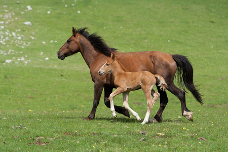 trot: Galloping horses Stock Photo