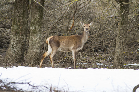 hoofed animals: Deer in the National Park of Abruzzo in Italy Stock Photo