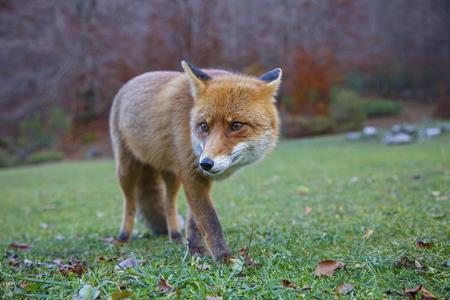 abruzzo: Fox in Abruzzo in Italy