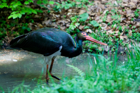 black stork: Black stork Stock Photo