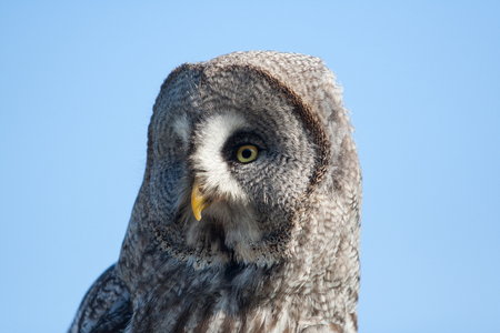 tawny owl: Great gray owl Stock Photo