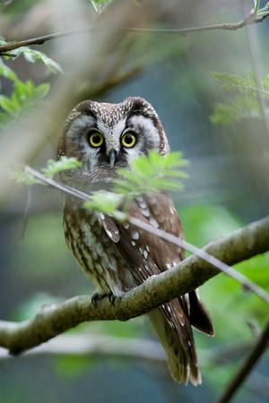 boreal: The boreal owl
