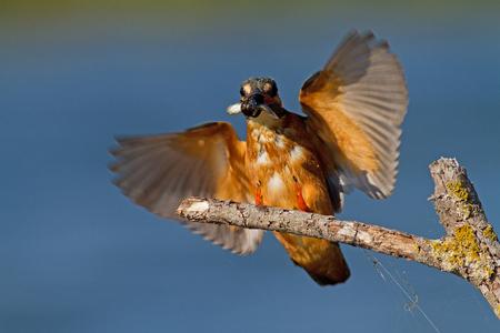kingfisher: Kingfisher with fish Stock Photo