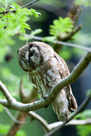 boreal: Boreal owl