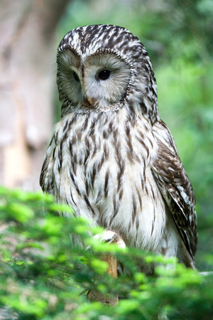 ural owl: Ural owl Stock Photo