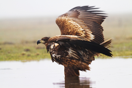 White-tailed eagle in the National Park of Hortobagy in Hungary. Stock Photo