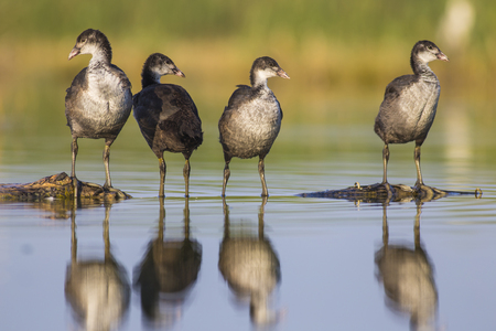 oasis at sunrise: Coots on the trunk in the pond in Italy