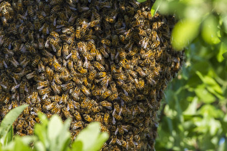 abeja reina: Las abejas  Foto de archivo