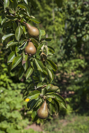 biological: Biological agriculture. Cultivation of pear in the province of Viterbo in Italy.