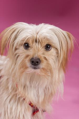 animalitos tiernos: Retrato del perro en el fondo de color rosa
