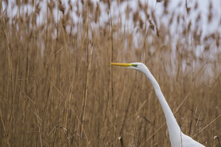 Great Egret in the lake of the Roman coast in Italy.
