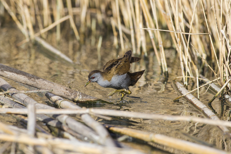 Crake searches for food in the reeds.