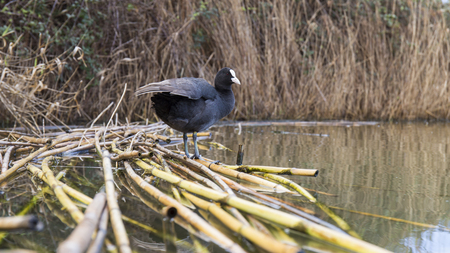 Coot on reeds in water. Stock Photo