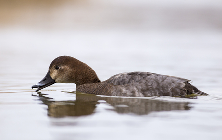 Pochard in the lake