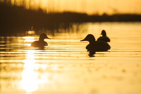 Pochard at sunset. Stock Photo