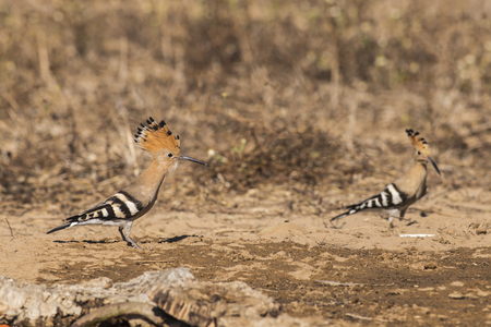 Hoopoe in wood in Italy.