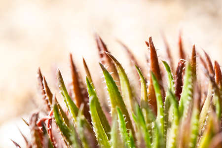 Close up shot of an aloe. In the foreground the young green leaves with white thorns, behind the older ones in reddish tones.