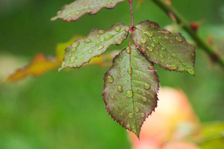 watery: Wet leaf in the garden