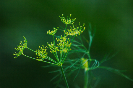 flavorings: Green fennel in the garden Stock Photo