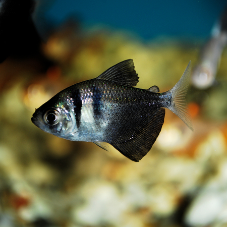 briny: Beautiful fish in the aquarium