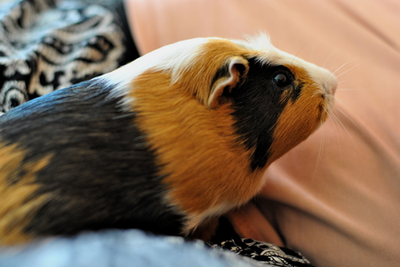 bred: Bred guinea pig at home