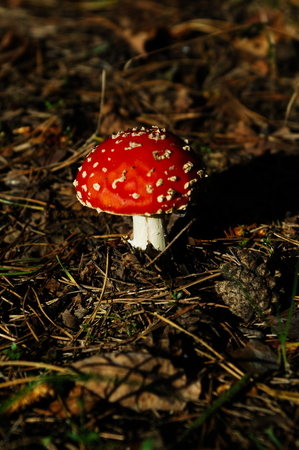 tabaco: Seta en el bosque, Polonia Foto de archivo