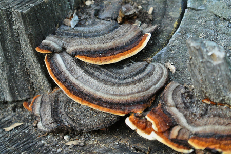 snuff: Mushroom in the forest, Poland