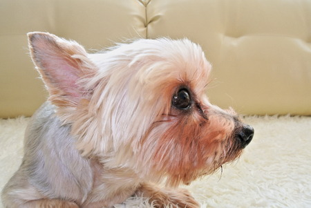 quadruped: The dog Yorkshire Terrier on the couch Stock Photo