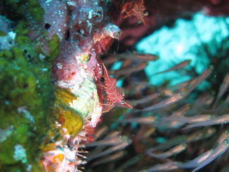 durban: Durban hinge-beak shrimp