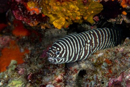 Zebra moray eel, Gymnomuraena zebra living in a tropical coral reef of Similan Islands Thailand.