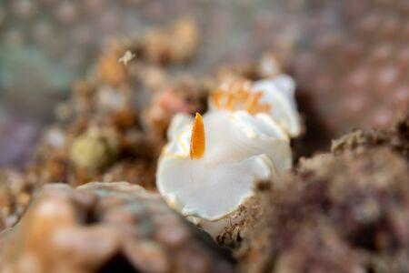 Ardeadoris averni nudibrach closeup photography closeup photograpy in a Boonsung wreck near Khao Lak Thailand Stock Photo